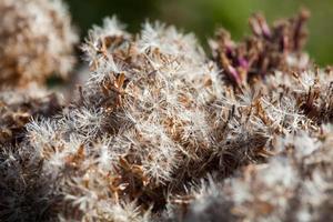 fluffiga mjuka vita och bruna växtfrön foto