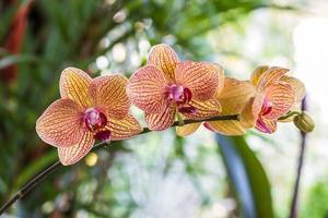 phalaenopsis, närbild blommande orkidé blomma tropiska växter. foto