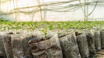 små tomatplantor i ett växthus för transplantation foto