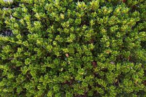 björnbärsväxt och blad - planta y hojas de gayuba foto