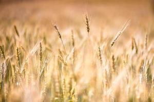gyllene korn fält foto