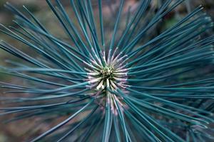 blå växt