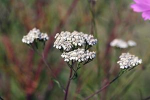vildblomma - rölleka (achillea millefolium) foto