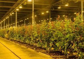 växthus med assimileringsljus foto