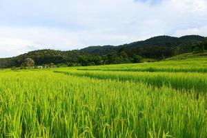 risfältfält under grön säsong foto