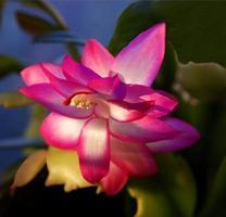 rosa blomma av semesterkaktusväxten foto