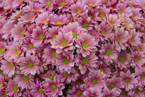 krysantemum grand lax foto
