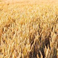 bakgrund av mogna öron av gult vetefält foto