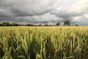 fält av vete med stormmoln foto