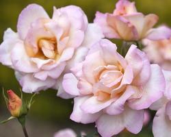 rosa och aprikosfärgade rosor foto