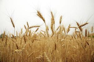 fält av gyllene korn foto