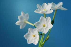 pappersvit narcissus