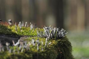 ljusstake svamp, xylaria hypoxylon foto