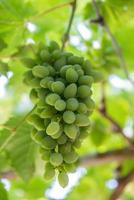 gröna druvor foto