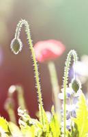 fält av ljusröda majsvallmoblommor på sommaren foto