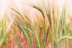 grönt & guldfält foto