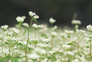 blommor av bovete