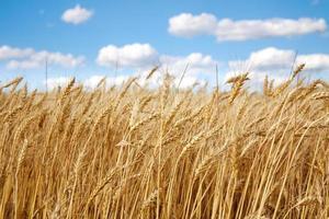 närbild vete fält på blå himmel foto