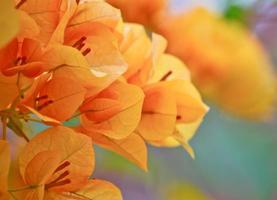 orange bougainvillea blomma i trädgården foto