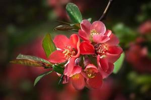 röd blommande kvitten foto