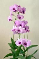 rosa orkidé foto