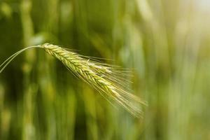 grönt korn foto