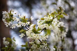 vackra blommor av körsbärsträd foto