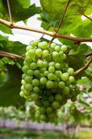 färska gröna druvor foto