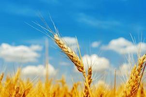 gyllene korn på fält under blå himmel foto
