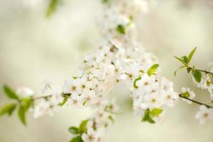 blommor av körsbärsblommorna på en vårdag foto