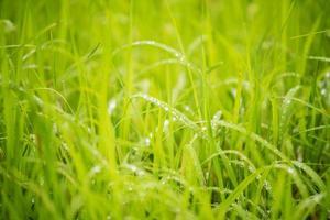 närbild grön ris ris bakgrund. foto