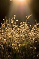 vintage filtrerad av blommande gräs. foto