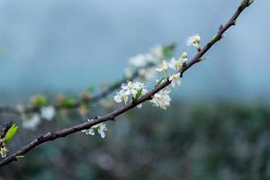 plommonblomning med vita blommor