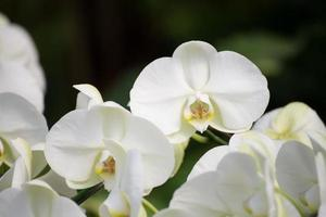 orkidéblomma