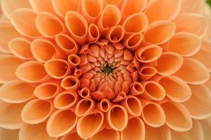 orange dahlia makro
