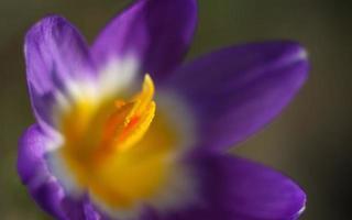 makro skott av en lila krokusblomma foto