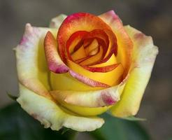ros blommar foto