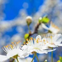 vita blommor på våren