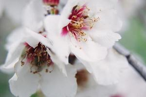 vacker vårblomning av mandelträd foto