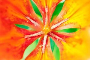 orange lilja foto