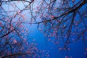 vild Himalaya körsbärsblomma foto