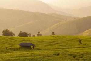 koja i grönt terrasserat risfält under solnedgången vid Chiangmai foto