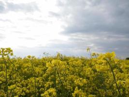 det gula fältet på bakgrunden med blå himmel foto