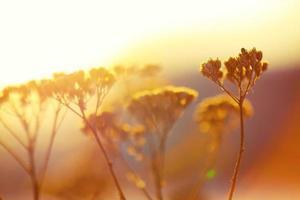 silhuett av torkade blommor och växter på en bakgrundssolnedgång
