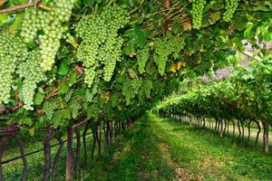 vingård på sommaren