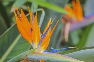 tropisk blomma strelitzia, paradisfågel foto