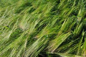 bakgrund av ett nytt och grönt solbelyst kornfält foto
