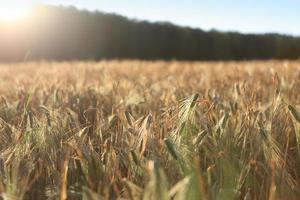 fält av korn foto