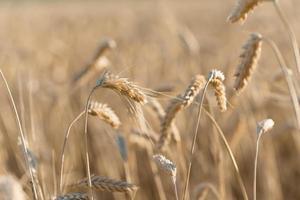 närbild gyllene mogna vete öronkorn fält sommartid före skörd