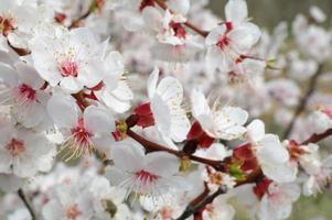 aprikosblommor på grenen foto